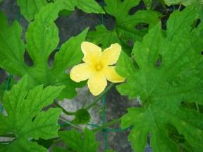 緑ゴーヤー花